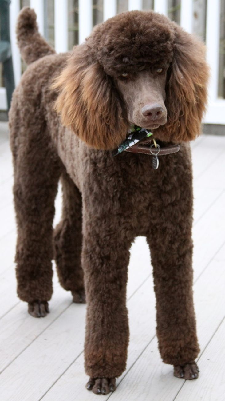 Standard poodle haircuts or of unless soft haircuts standard poodle - Brown Standard Poodle More