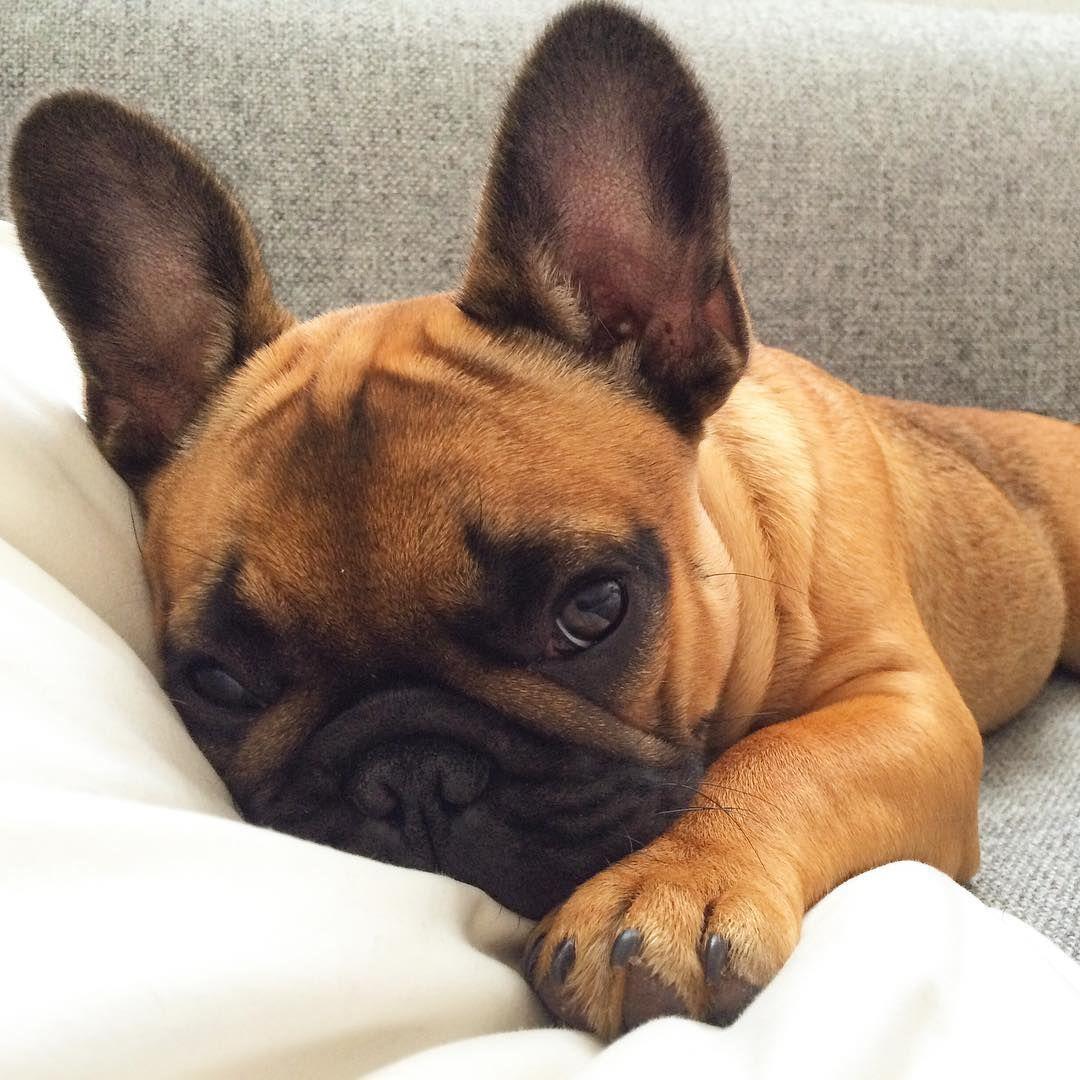 French bulldog puppy i