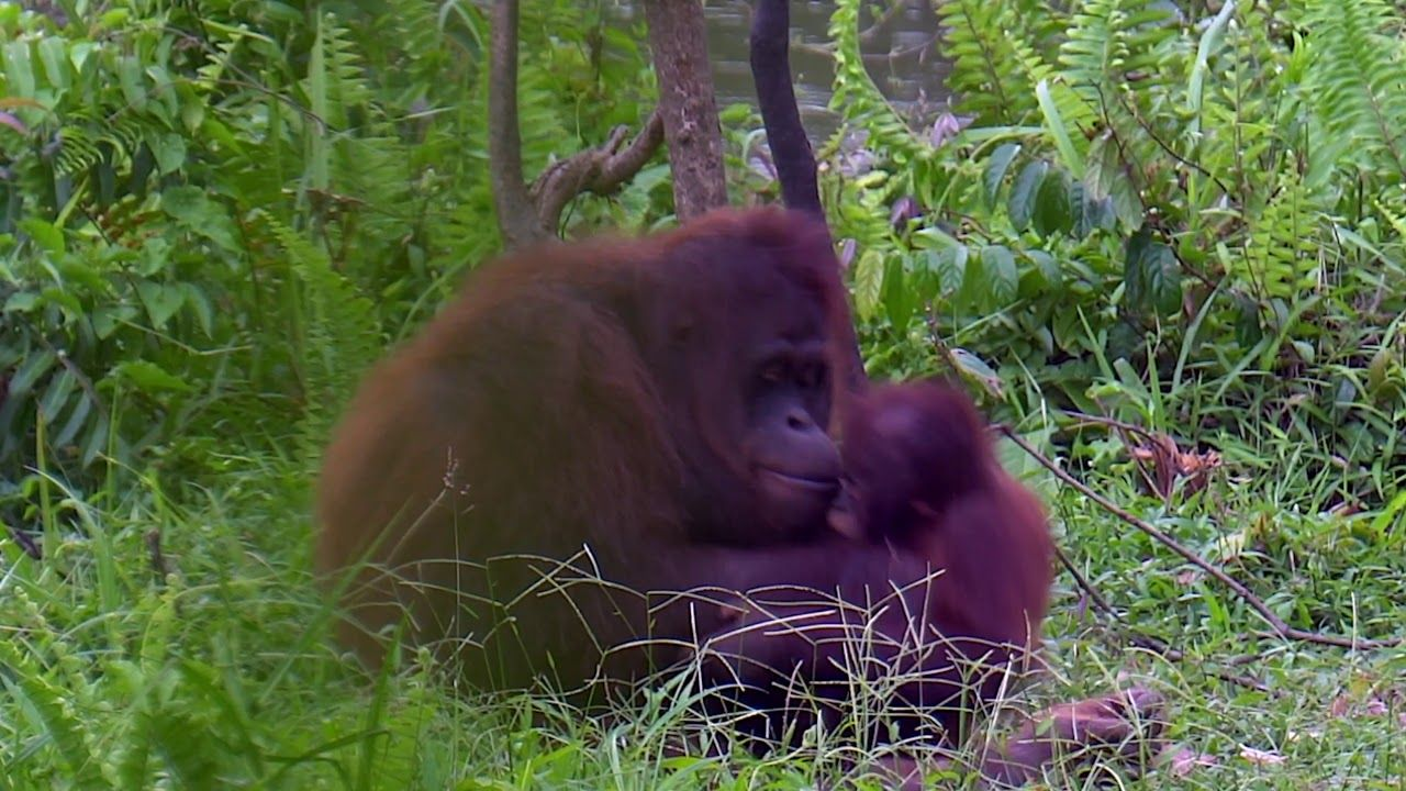 Borneo Orangutan Survival BOS Dezember 2018 Borneo