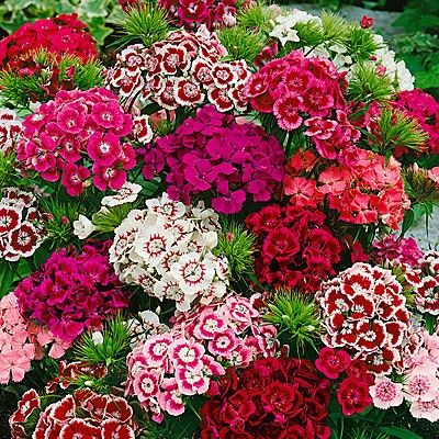 Dianthus barbatus perennial mounding and container plant how to dianthus indian carpet sweet william flowers dianthus flowers flowers perennials how to deadhead mightylinksfo