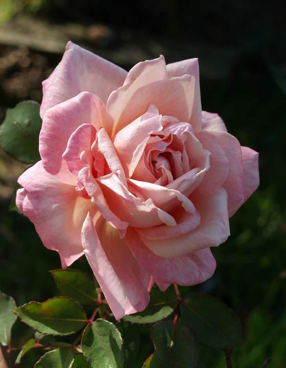 Tea Rose: Rosa 'Bridesmaid' (sport of Catherine Mermet discovered in U.S., 1892)