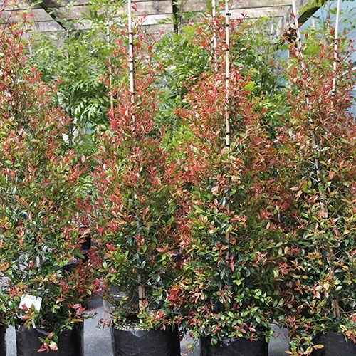 Great for hedging eugenia ventinati lilly pilly trees for Lilly pilly shrub