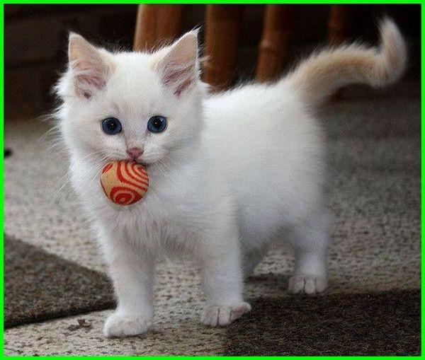 Gambar Kucing Lucu Imut Dan Paling Menggemaskan Sedunia Di 2020 Gambar Kucing Lucu Kucing Himalaya Anak Kucing