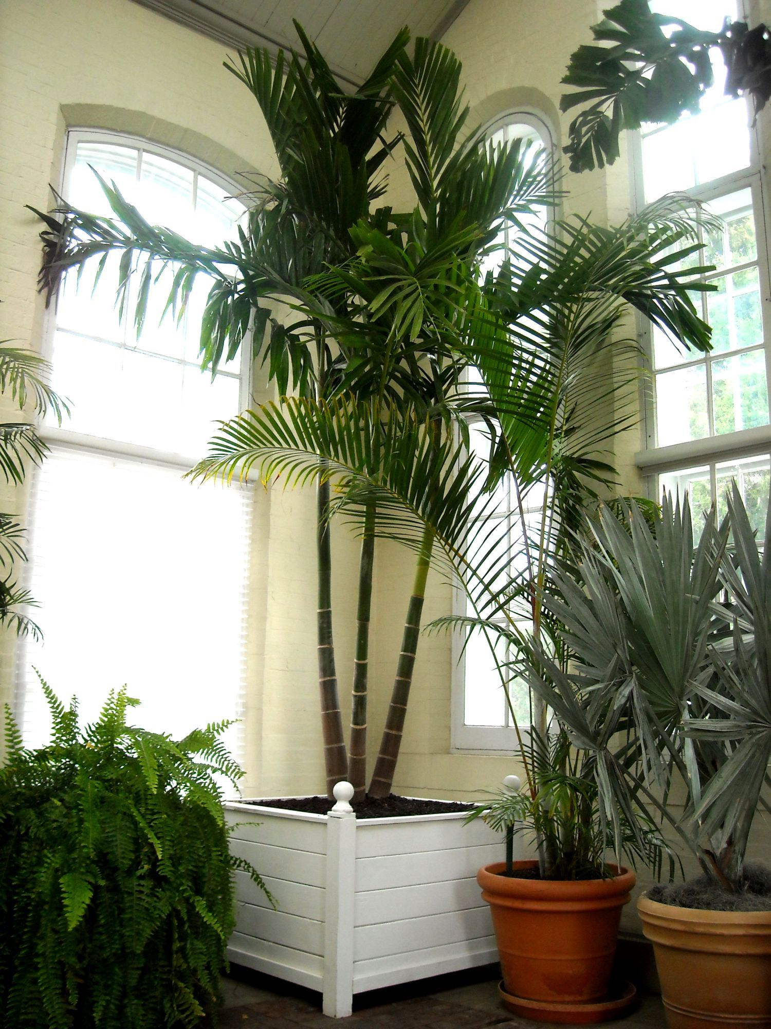 Neanthe bella palm prune very carefully as there is only for Indoor gardening near me