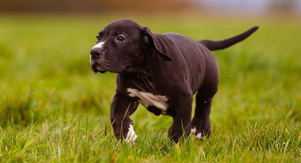 Great Dane Puppies Oregon For Sale 2021