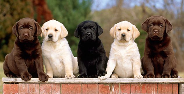 Which Lab Is Best Yellow Chocolate Or Black Lovable Labradors Labrador Retriever Puppies Labrador Retriever Labrador Retriever Dog