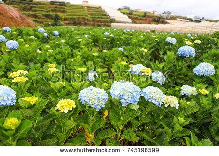 Dalat 26 October 2017 Hydrangea Flowers Are Blooming In All Dalat S Garden Hydrangea Flower Hydrangea Garden Hydrangea