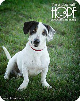 Godfrey, IL - Basset Hound/Jack Russell Terrier Mix. Meet ...