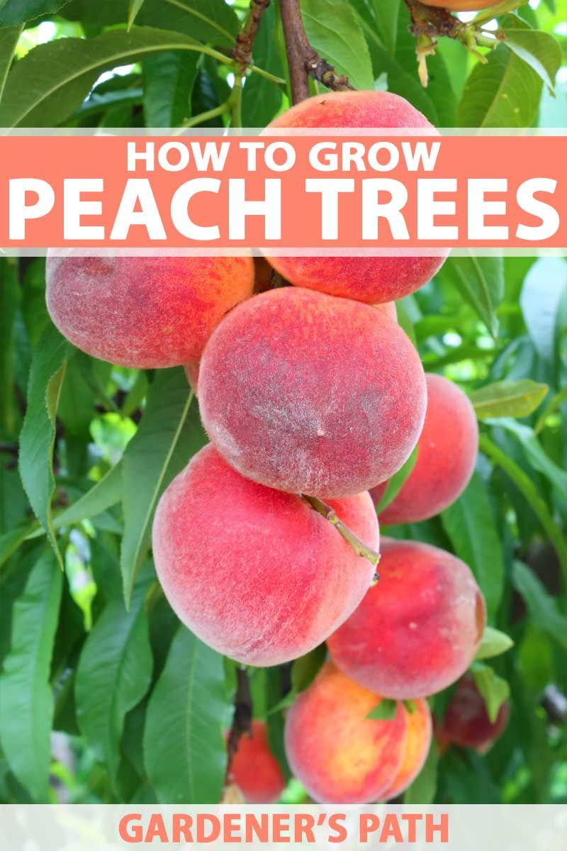 How To Grow And Care For Peach Trees Gardener S Path Fruit Tree Garden Planting Fruit Trees Fruit Garden