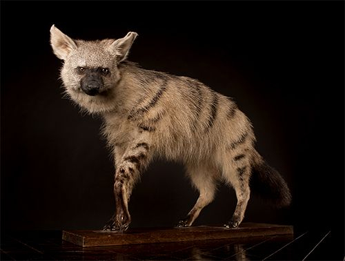 Erdwolf / Hyäne