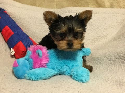 Yorkshire Terrier Puppy For Sale In Chicago Il Adn 23629 On