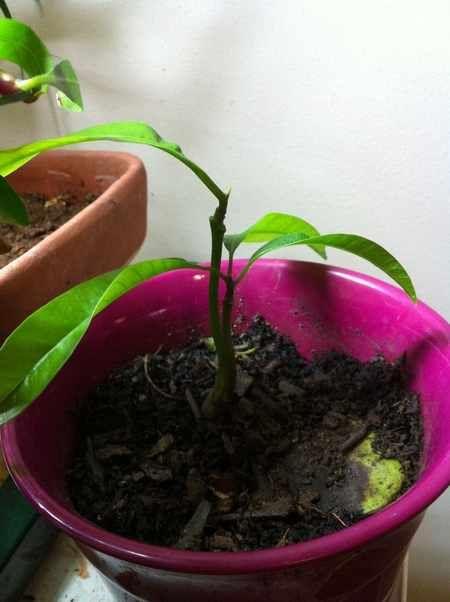 Coltivare il mango in vaso il mango un frutto esotico for Coltivare more in vaso