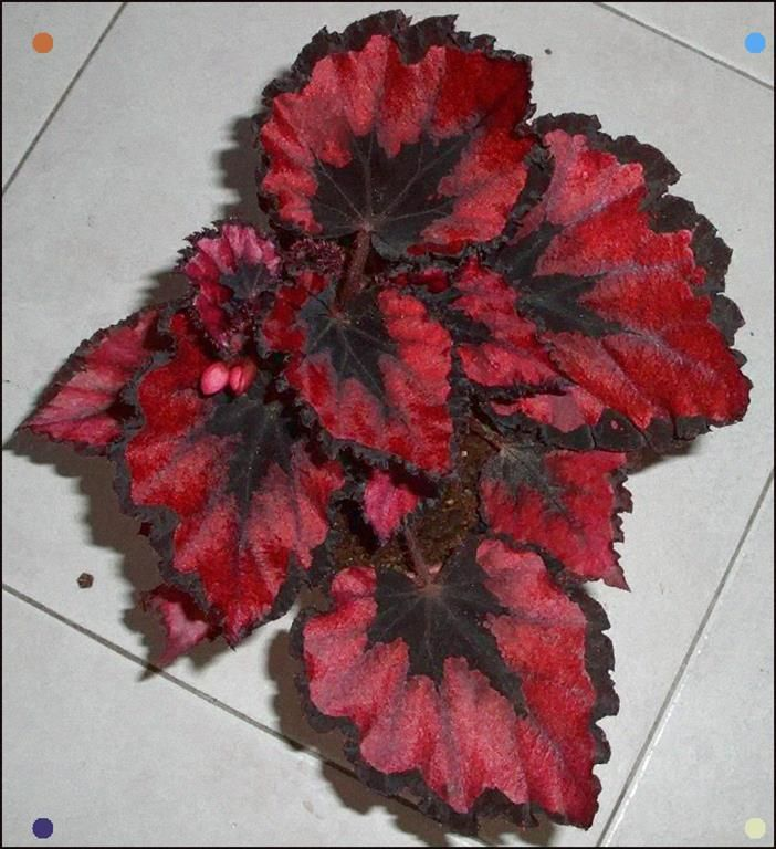 Begonia Rex Amicability S Red Robin Begonias Like High Humidity