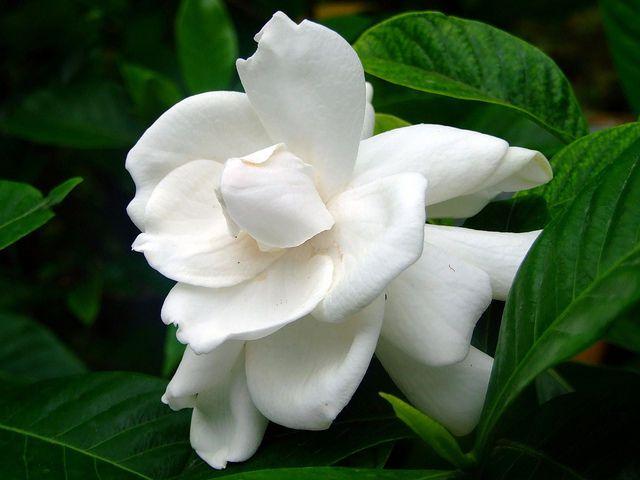 Live Gardenia Cape Jasmine Gandhraj Plant White Shrub Flower Plant One Plant Flowers Flower Seeds Gardenia