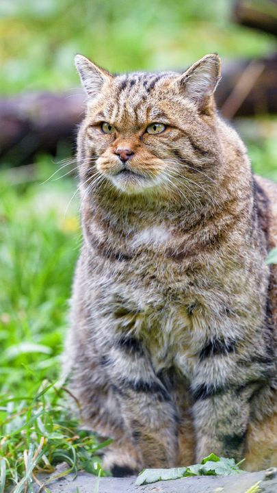 The Latest Iphone11 Iphone11 Pro Iphone 11 Pro Max Mobile Phone Hd Wallpapers Free Download Wild Cat Cat Glance Animal Brown Fr Animals Wild Cats Cats