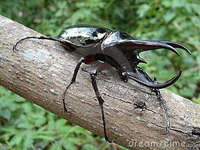 Tropical Rainforest Beetle Rhino Beetle Tropical Rainforest Beetle