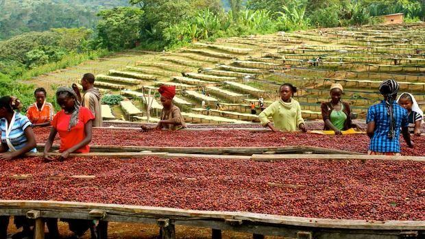 Cosecha de café. Etiopía.  África                              …