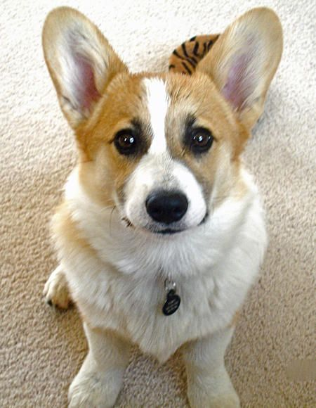 If We All Didn T Have Allergies I D Have A Corgie Corgi Puppy