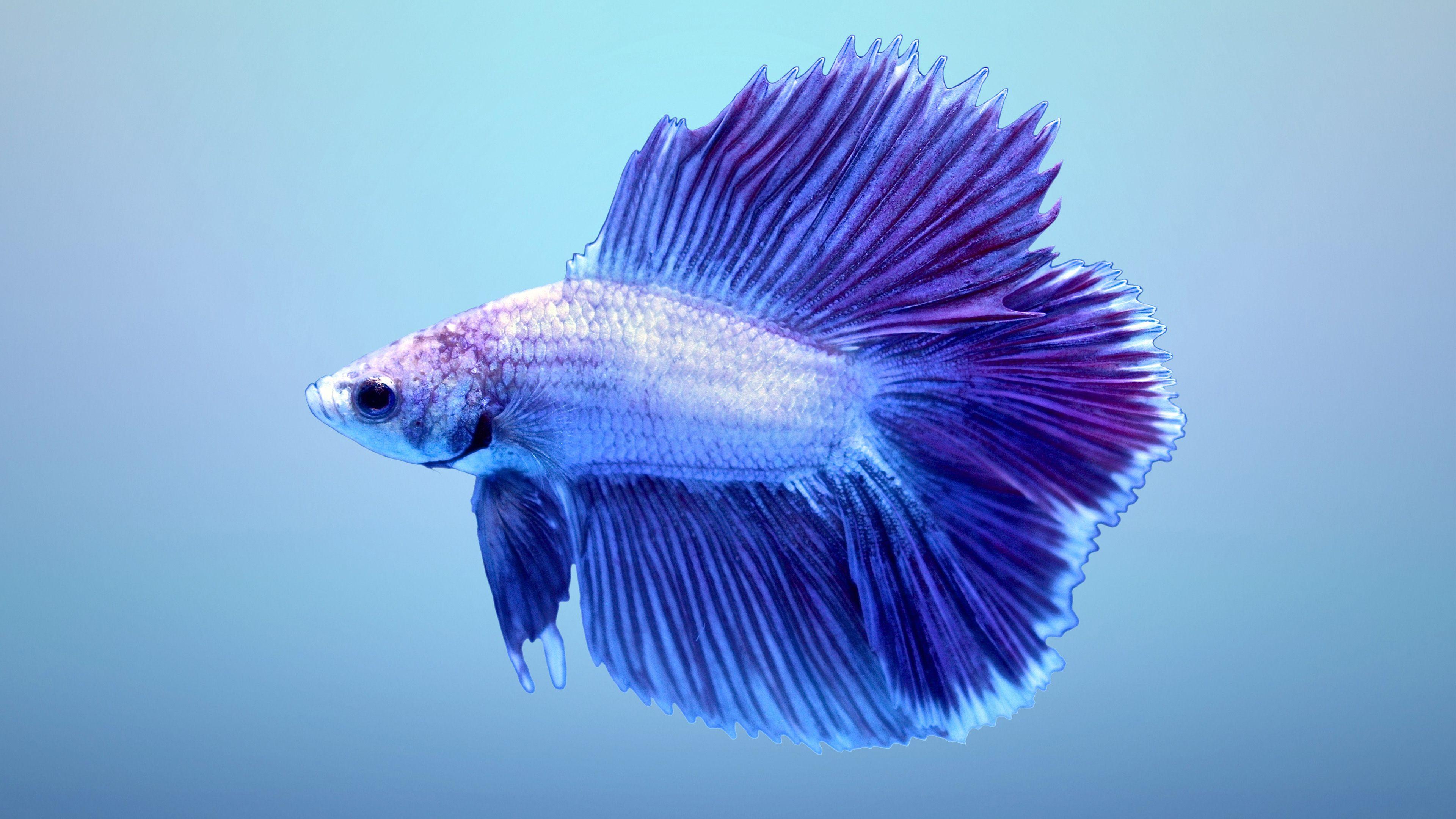Beautiful Betta Fish Aquarium Betta Fish Tank Betta Halfmoon Betta