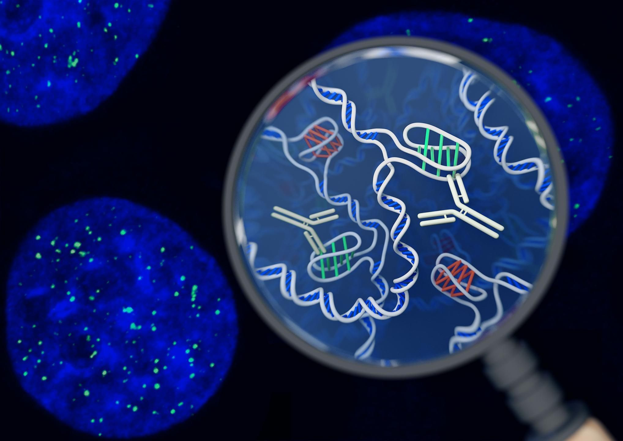 Found in live cells a new form of dna dna scientist