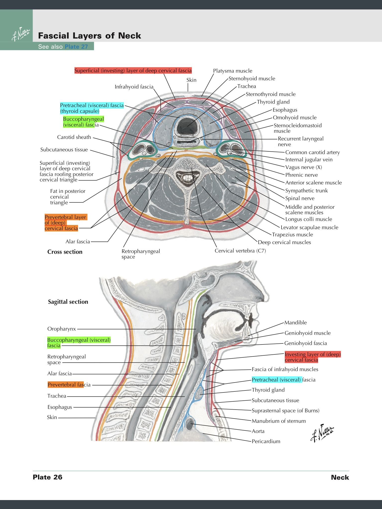 fascia neck cervical deep anatomy netter muscle maps thyroid tissue subcutaneous visit layers human