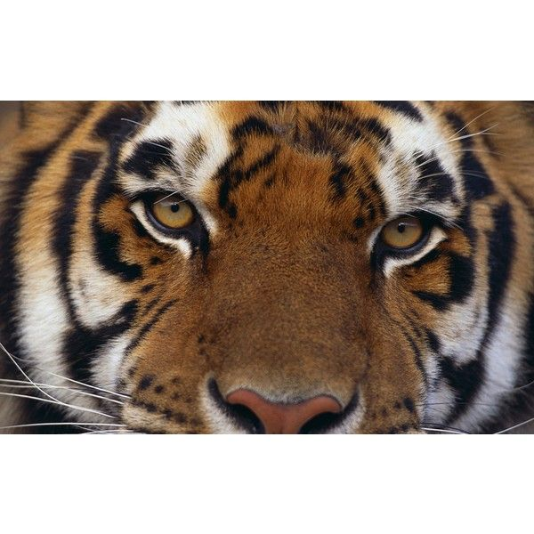 animals tigers - Wallpaper (#809235) / Wallbase.cc ❤ liked on Polyvore