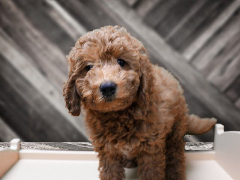 Checkout This Cute Mini Goldendoodle 2nd Gen 23905 At Petland Racine Wi In 2020 Mini Goldendoodle Goldendoodle New Baby Products