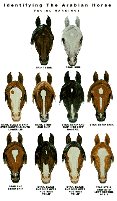 While Researching This Story I Learned That Arabian Horses Come In Many Different Colors Horse Markings Horse Breeds Horses
