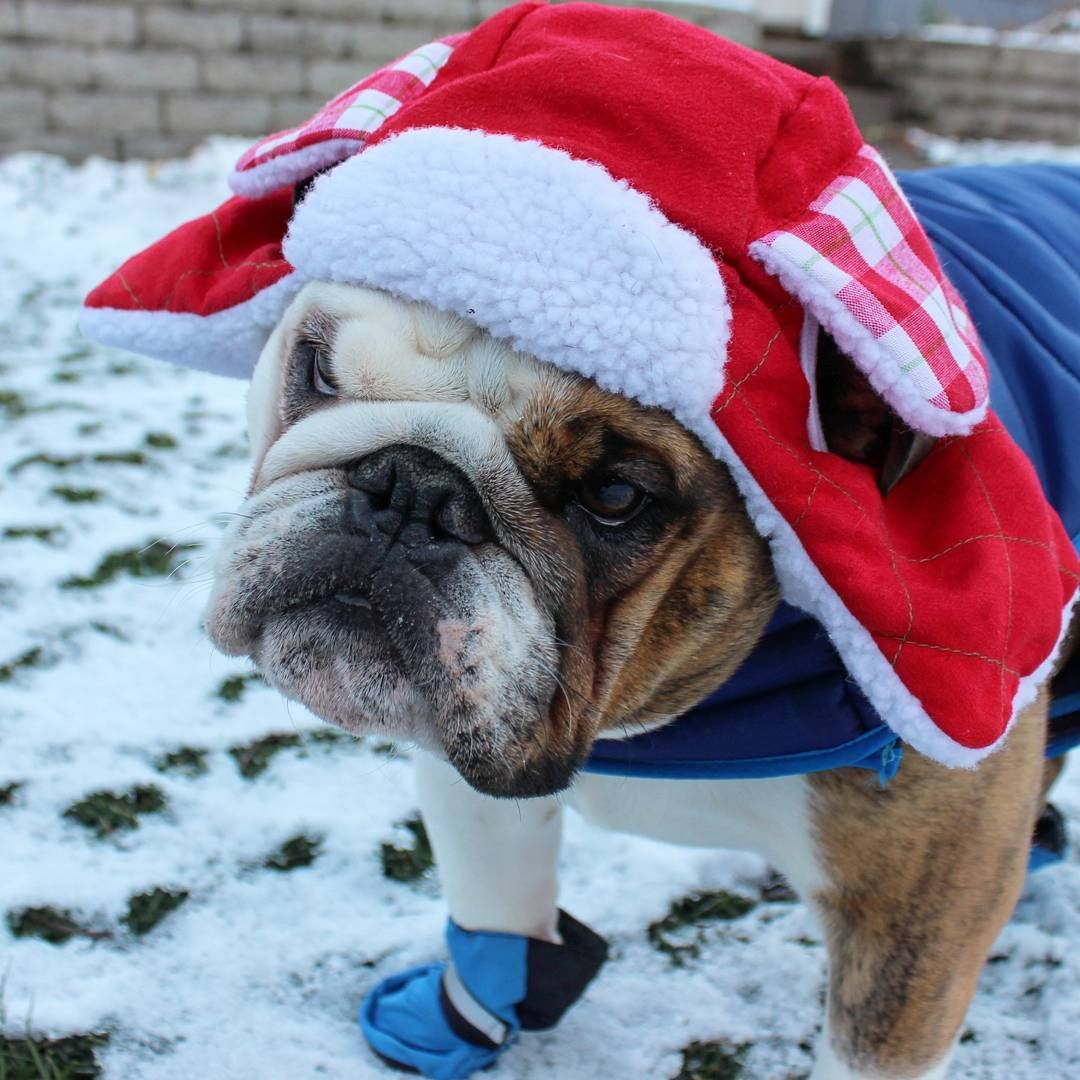 English Bulldog puppy dressed for winter