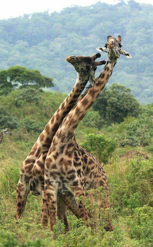 swaying Giraffe, Wildlife foundation, Wildlife