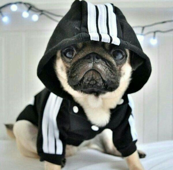 Must see Pug Canine Adorable Dog - 0b73d060aaaec36fa737e8696675bbdd  Snapshot_966056  .jpg