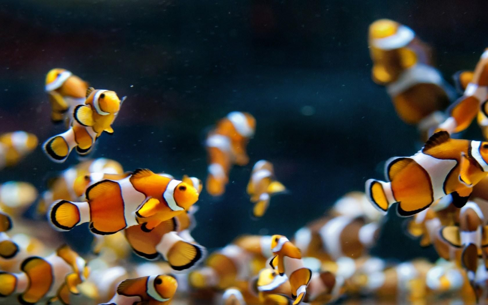 Awww Bunches Of Nemo Fish Fish Wallpaper Aquarium Live Wallpaper Aquarium Fish