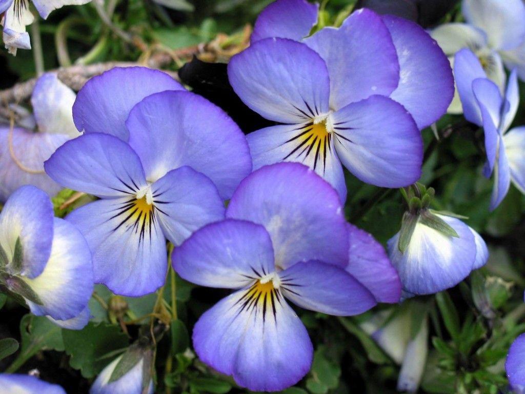 Pansies Wallpaper Gardening Outdoors Pinterest Flowers