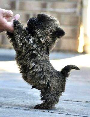 Black Puppy Dog Toto Cairn Terrier Puppies