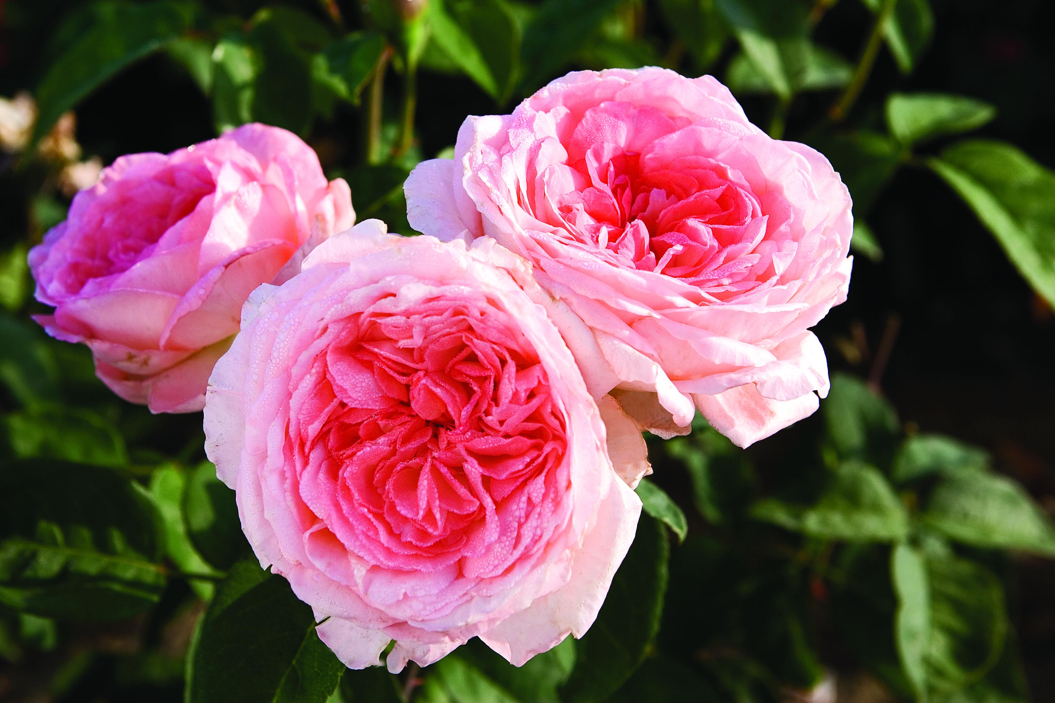 Fragrance Fragrant Roses Hybrid Tea Roses Tea Roses
