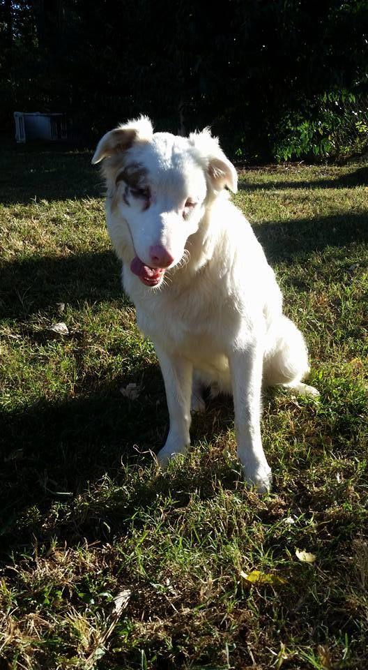 Adopt Bjorn On Australian Shepherd Australian Shepherd Dogs Adoption
