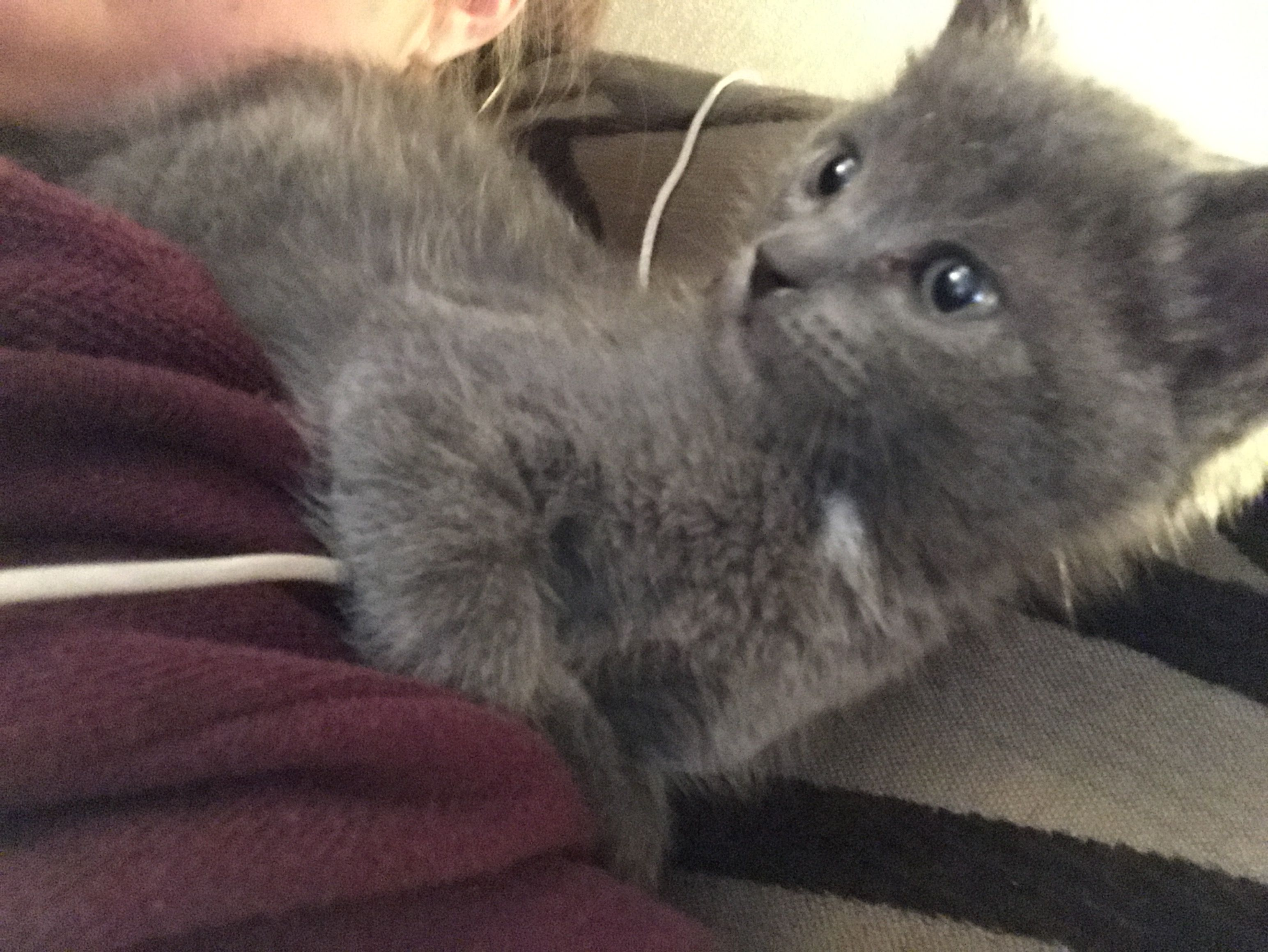 Storm the Russian Blue mix loves to hang out on shoulders 🎀