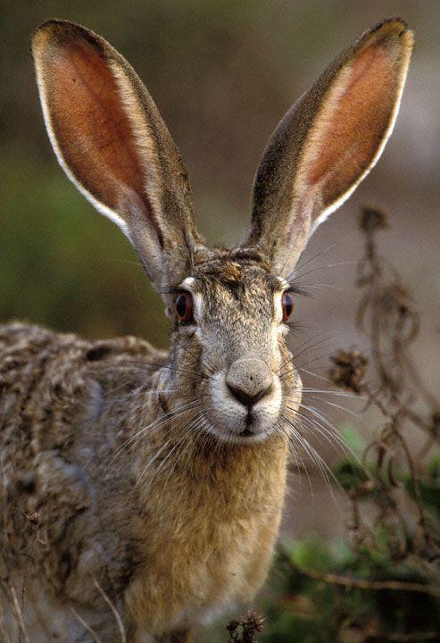 What big ears u have