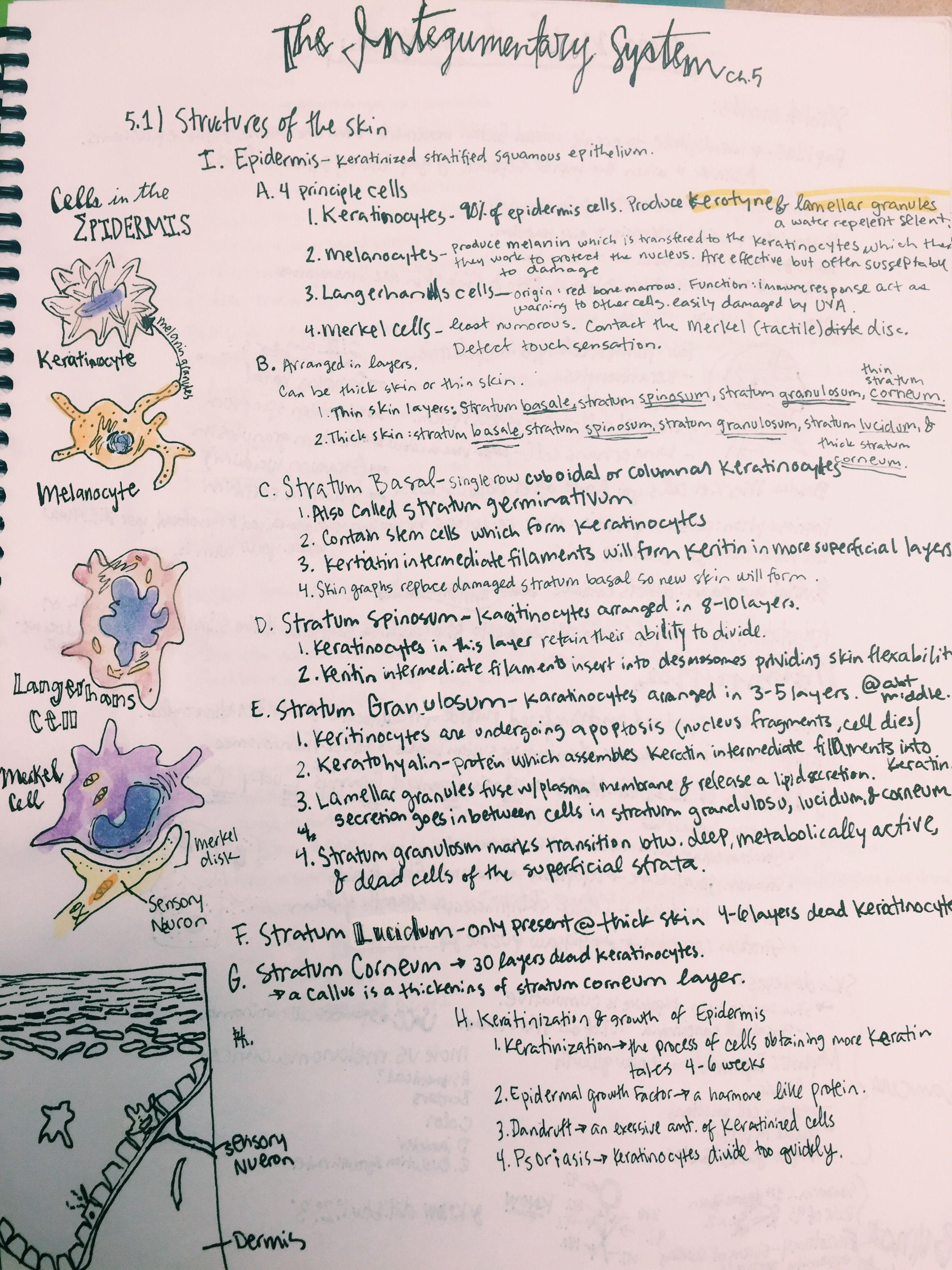 Human Anatomy And Physiology Nervous System Notes