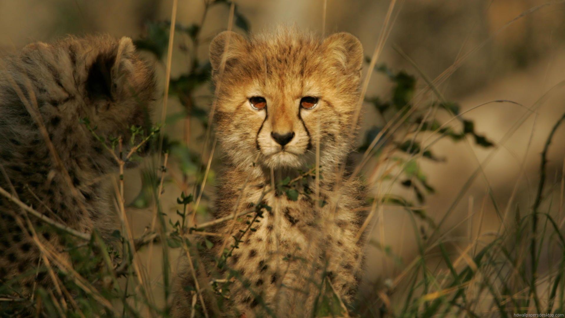 Full Hd P Cat Wallpapers Hd Desktop Backgrounds X Cheetah Wallpaper Tiger Wallpaper Cheetah Cubs