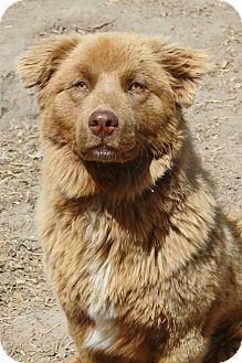 Wilmette Il Australian Shepherd Golden Retriever Mix Meet Bear