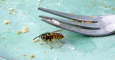 Wespen vertreiben effektiv und schonend mit diesen tricks garten wespen vertreiben wespe - Wespen im garten vertreiben ...