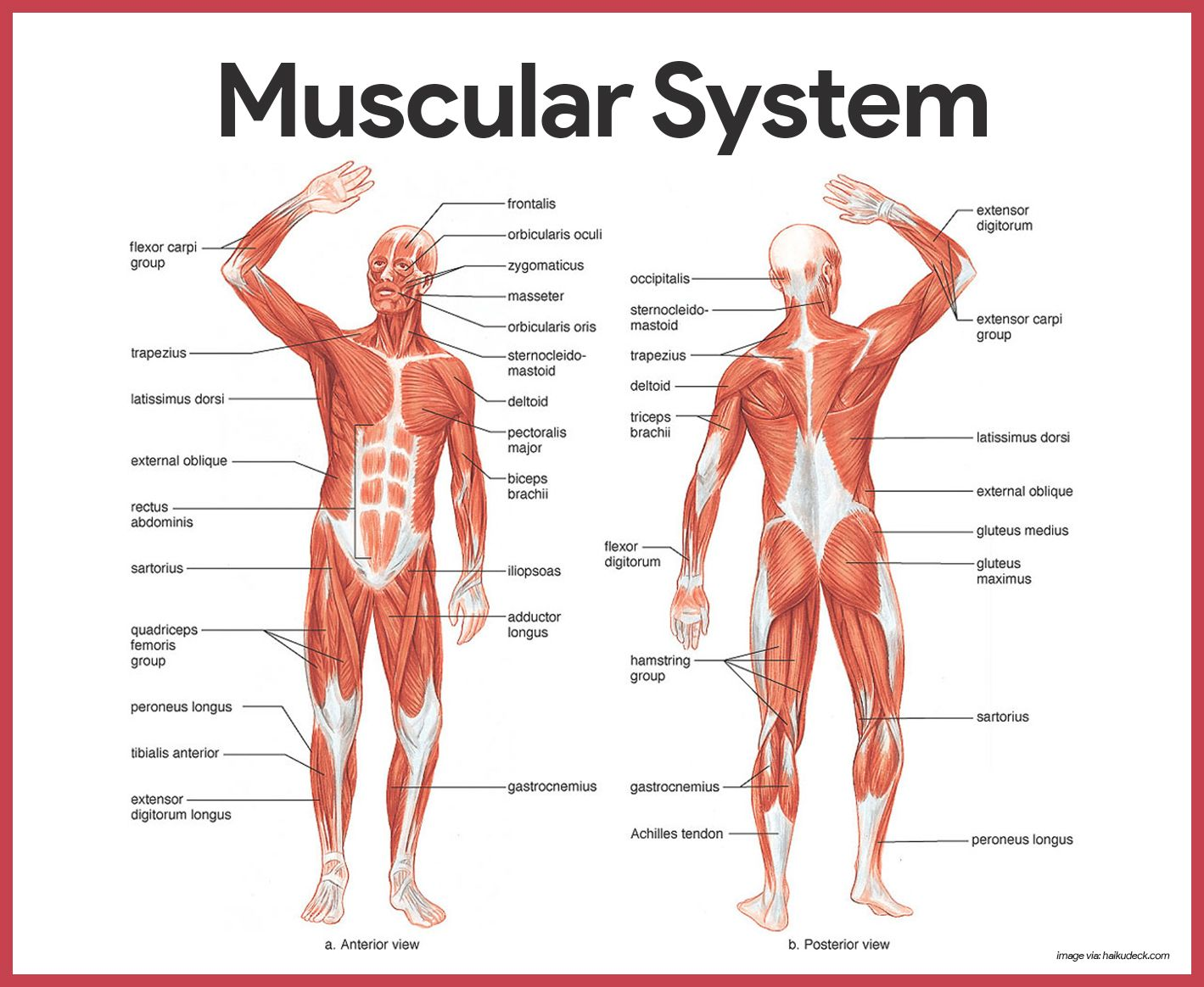 Musculoskeletal system: functions and structure. Development of the human musculoskeletal system