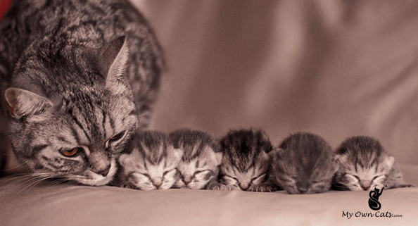 How Many Kittens Can A Cat Have Kittens Cutest Cute Cats