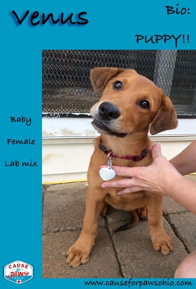 Look At That Sweet Face Venus Is A Stunning Young Lab Mix Puppy Looking For A Loving Home She Was Born Some Labrador Retriever Dog Adoption Lab Mix Puppies