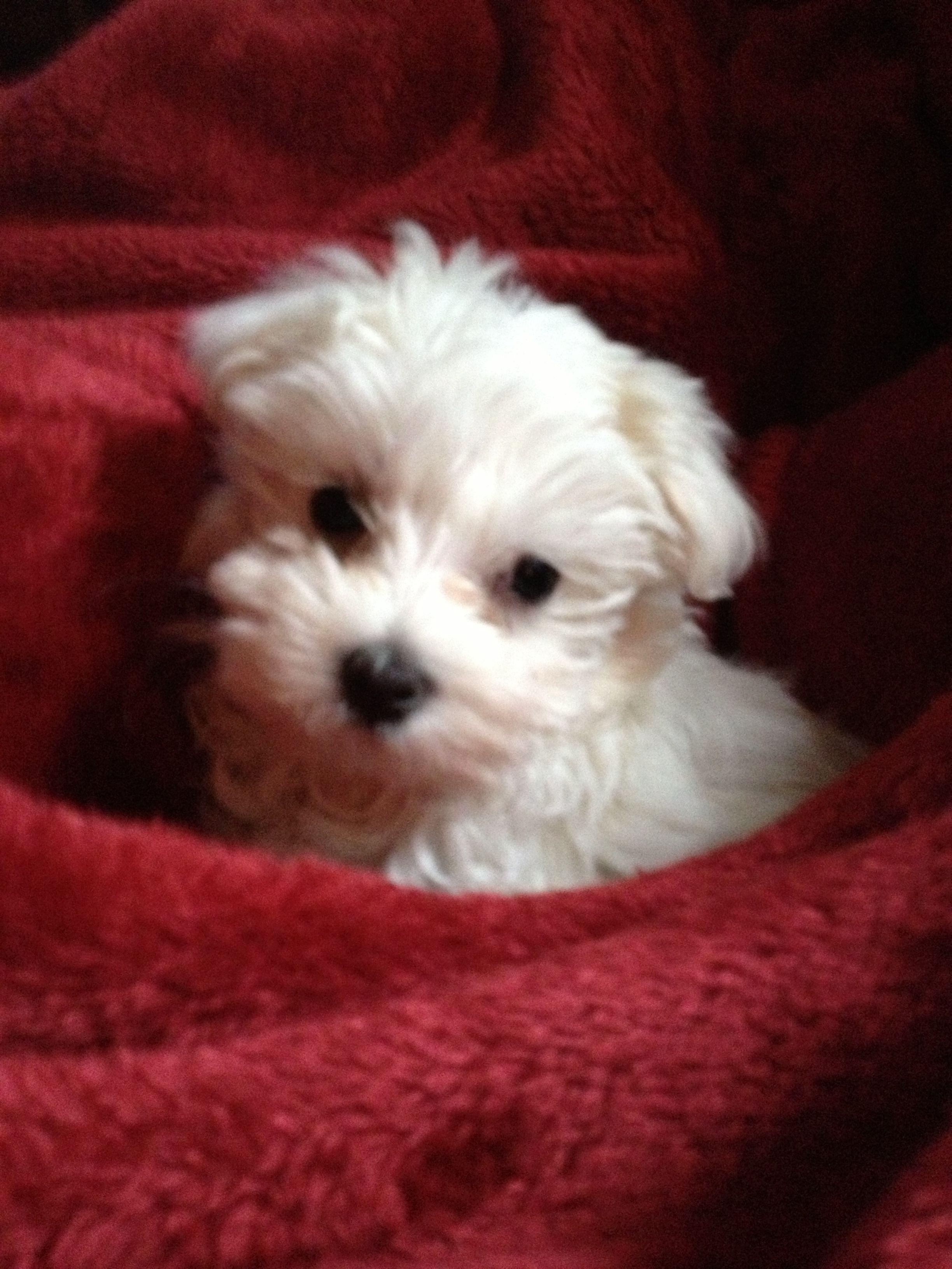 My Maltese Puppy Diamond Maltese Puppy Cute Puppies Cute Animals