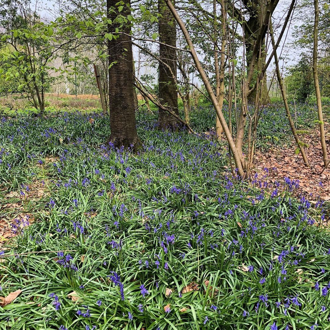 Fleur De Sous Bois Bleue tapis bleu dans les sous-bois des flandres #hyacinths