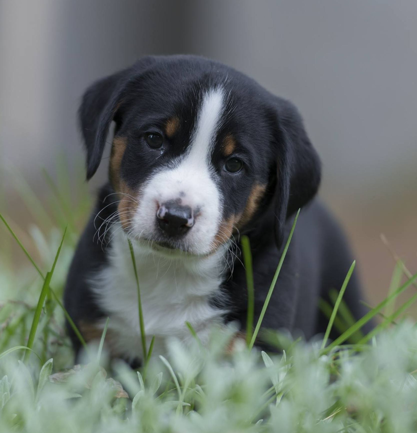 Appenzeller Scennenhund Mountain Dog Photography Of Puppy