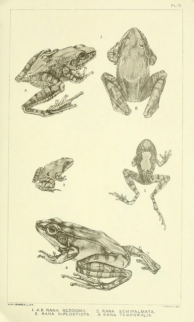 Catalogue of the Batrachia Salientia and Apoda (frogs, toads, and cœcilians) of…
