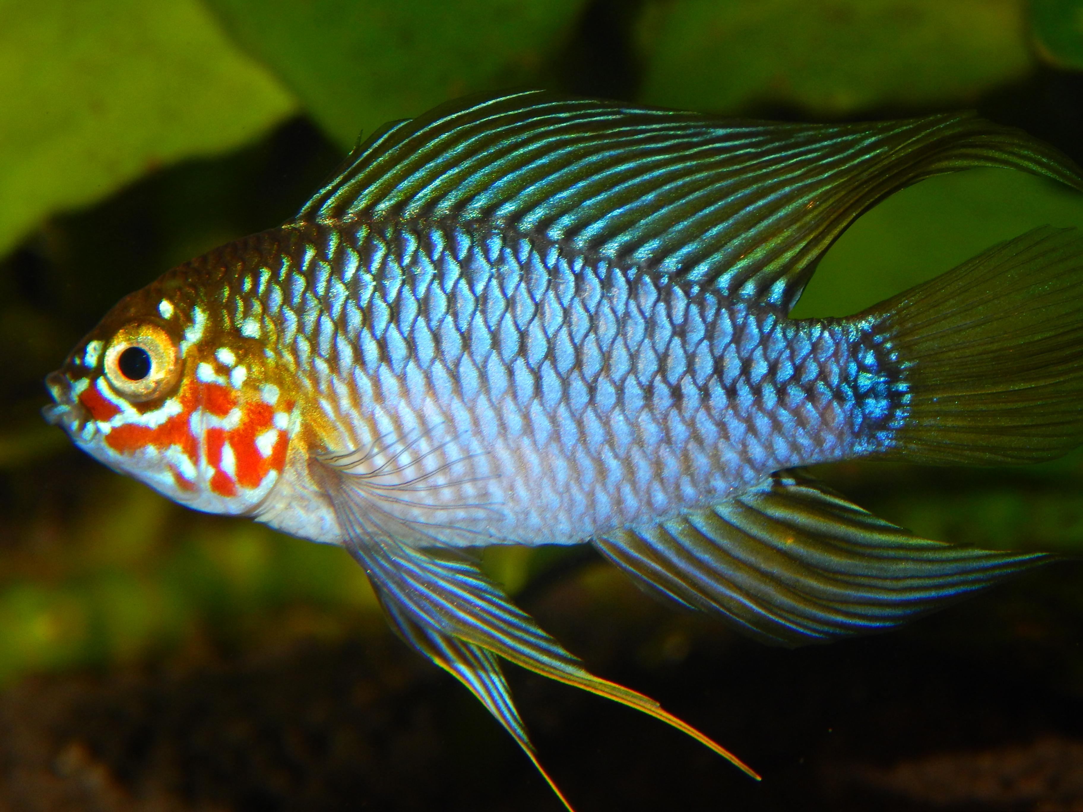 Apistogramma Borellii Opal Nikon Models Fish Pet Opal